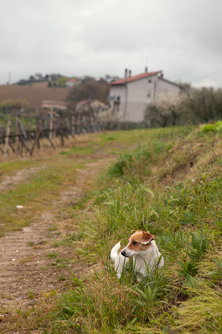 Dog in vineyard, Marche, Italy.
